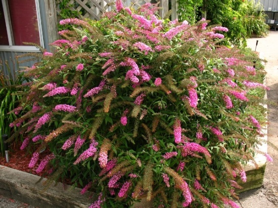 buddleia-pink-delight1