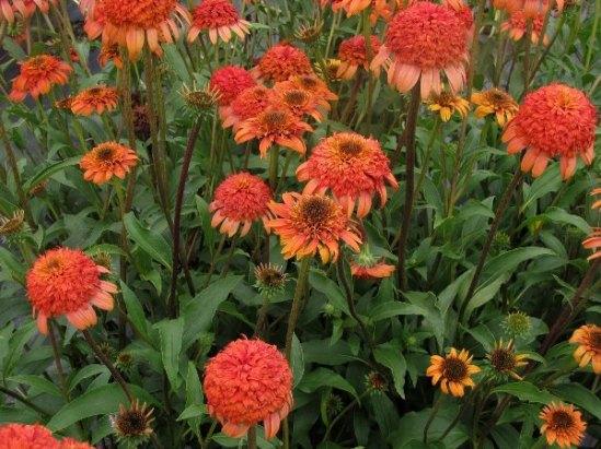 Echinacea_Secret_Lust_Coneflower_Double_Orange