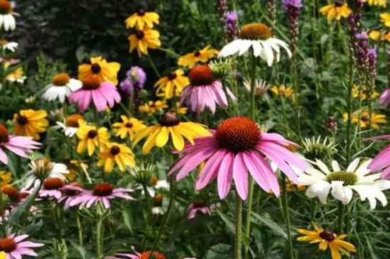 Flowering_cone_flowers