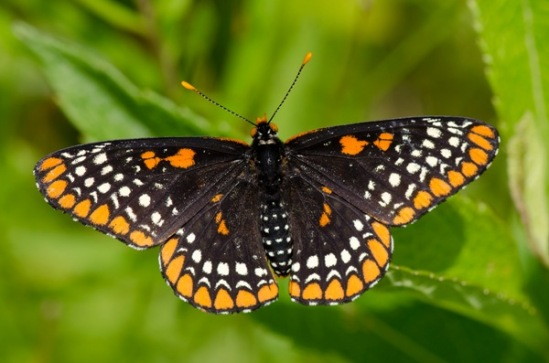 Baltimore-Checkerspot-Euphydryas-phaeton-butterfly-7528