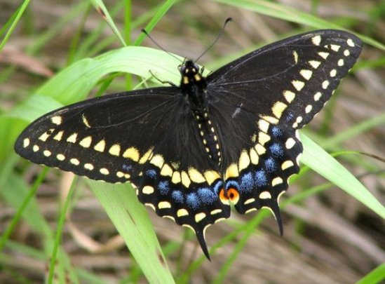 black-swallowtail-butterfly-731991