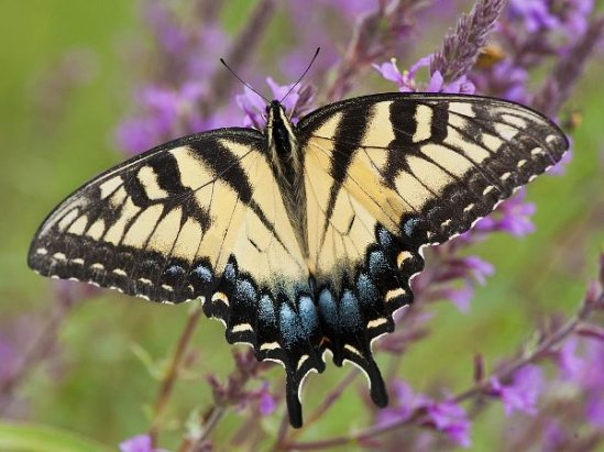Eastern-tiger-swallowtail-papilio-glaucus