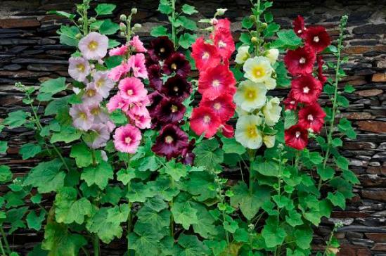 hollyhock-alcea-rosea-flowers-visionspictures