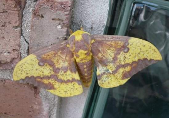 Imperial_moth_Illinois