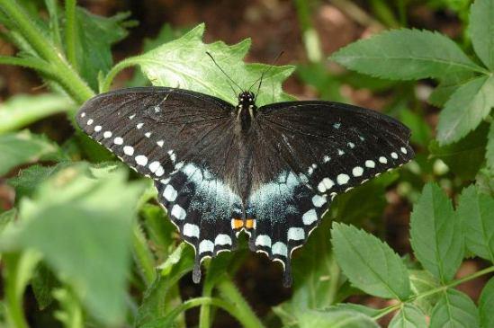 spicebush_swallowtail_dbg_041705_05