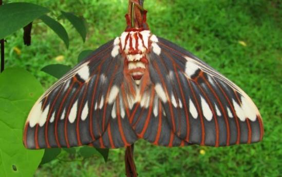 Citheronia splendens with logo