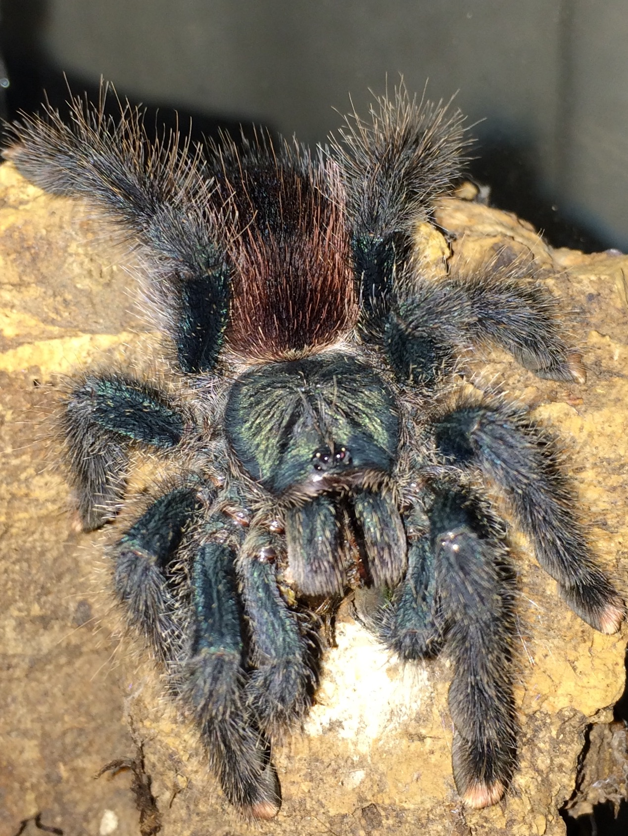 A Pictorial Guide To My Tarantula Collection | Dave The Bug Guy