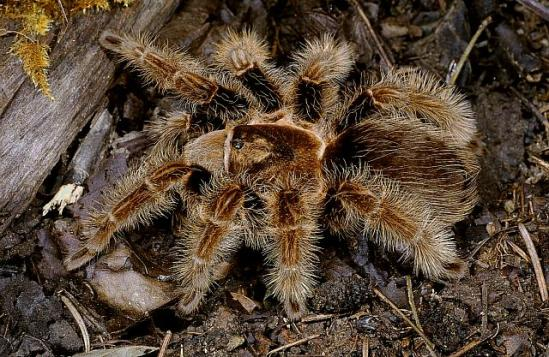 Brachypelma-albopilosum-Valerio-1980-female-Honduras