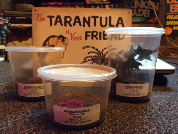REHOUSING TARANTULAS: Poecilotheria metallica | Dave The Bug Guy