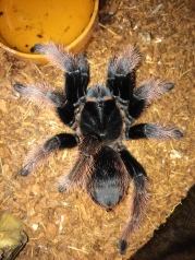 New World Tarantula