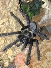 Old World Tarantula