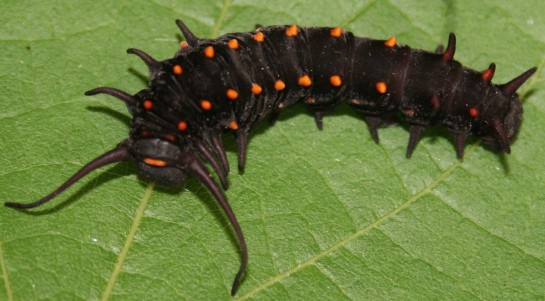 Pipevine_Swallowtail_larva,_Megan_McCarty52