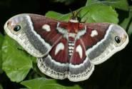 hyalophora
