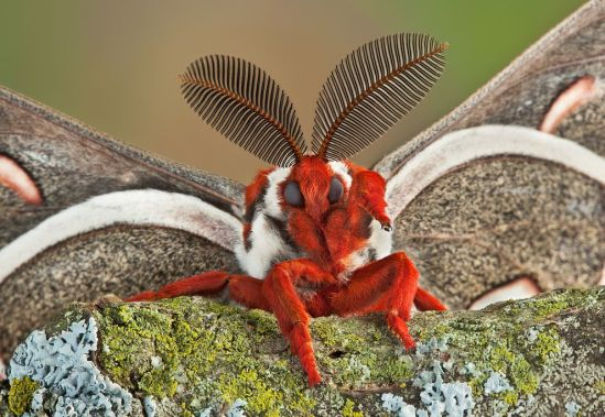 cecropia-moth-face-01.jpg.990x0_q80_crop-smart