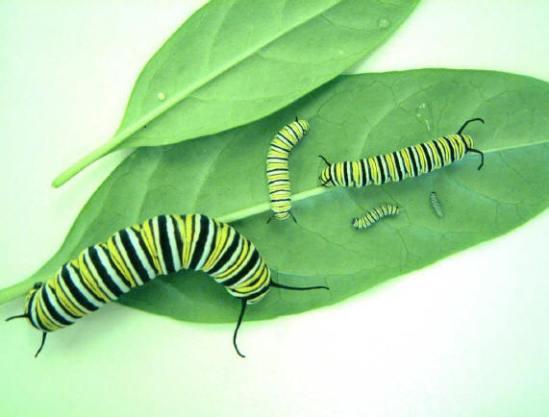 Monarch-5instars