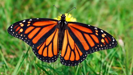 monarch-butterfly-grass.ngsversion.1396530842099.adapt.1900.1