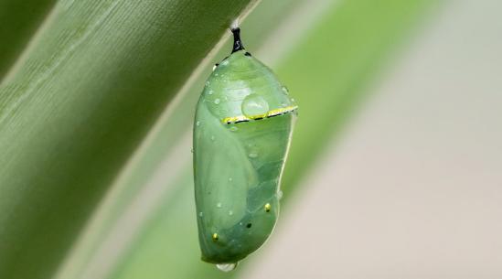 MonarchButteflyChrysalis