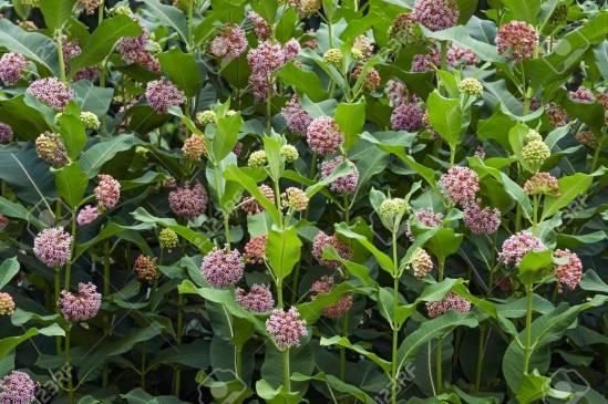 Common milkweed flowers.