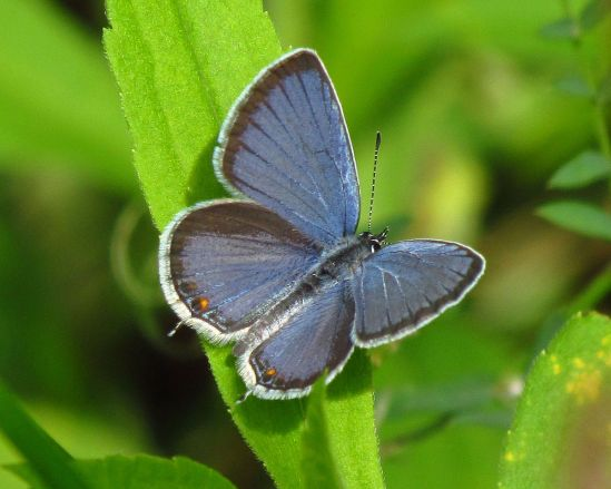 1200px-Eastern_Tailed-blue