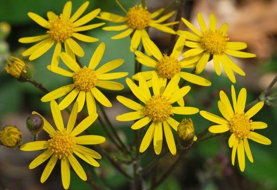 1200px-Golden_Ragwort_Senecio_aureus_Flowers_2616px
