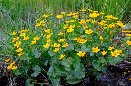 13836048-marsh-marigold-caltha-palustris-in-the-swamp
