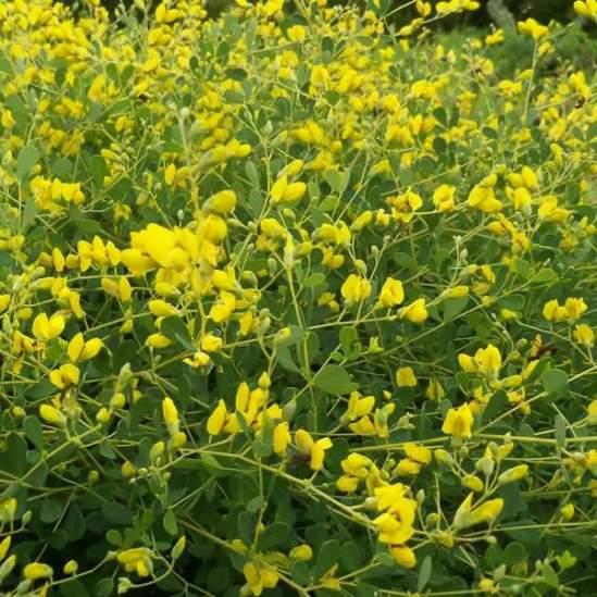 baptisia-tinctoria-flowers_grande