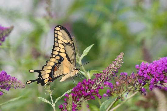 giant-swallowtail-papilio-cresphontes-richard-and-susan-day