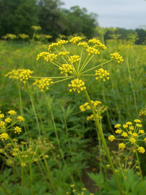 golden-alexanders-pa-ecotype-2