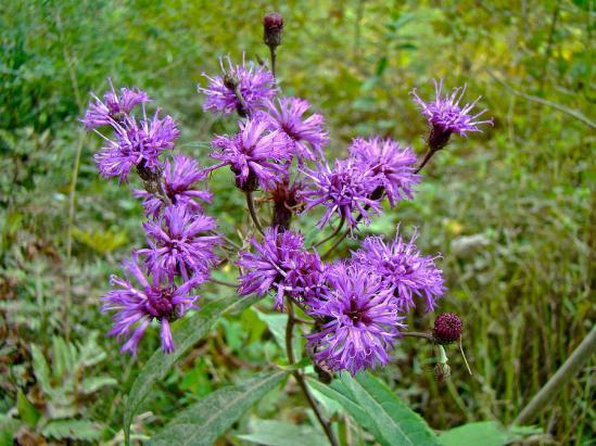 new-york-ironweed-wildflower-vernonia-noveboracensis-mother-nature