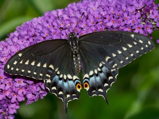 PapiliopolyxenesFSM-001a