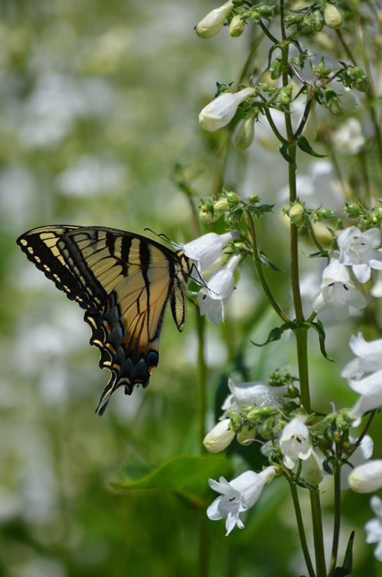 penstemon-digitalis-foxglove-beardtongue-with-eastern-tiger-swallowtail