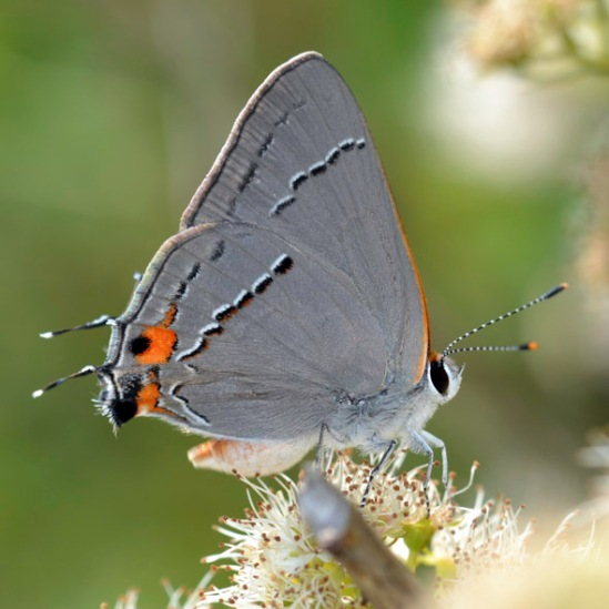 Strymon-melinus-photo-1