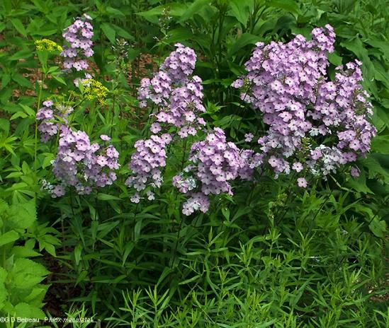 Wild Sweet William (Phlox maculata L.)