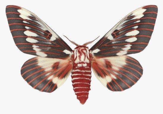 Citheronia-splendens-male-webready_2048x2048