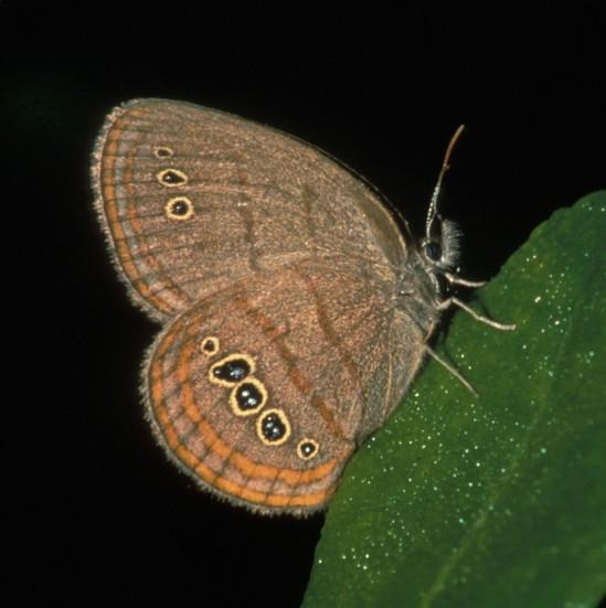 Neonympha-mitchellii-francisci