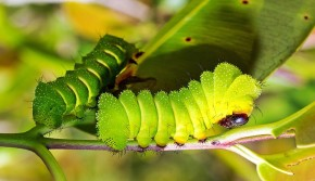 argema-mittrei-caterpillars-two-column.jpg.thumb.768.768