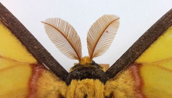 argema-mittrei-male-antennae-two-column.jpg.thumb.768.768
