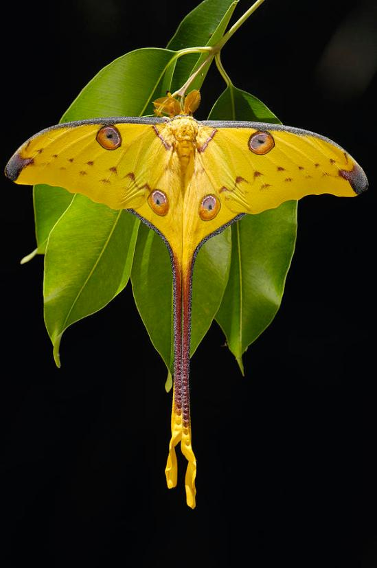 madagascar-moon-moth-argema-mittrei-pete-oxford